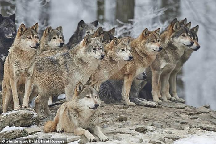 研究显示,狗是从狼群进化而来。