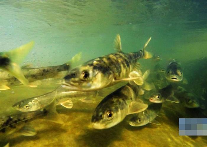 湟鱼是青海湖中的特产,属国家二级保护动物,一直被禁止捞捕。