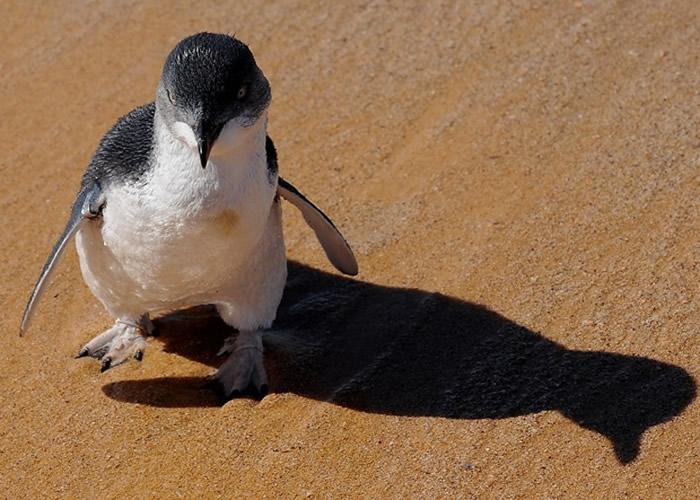 澳洲有大量小蓝企鹅遭狗只袭击而死。