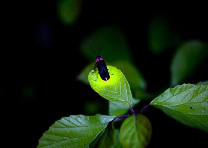 研究指萤火虫会发光,是因为远古祖先曾发生基因突变。
