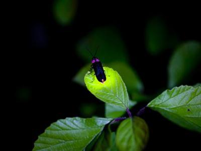 1亿多年前祖先体内的酵素基因突变令萤火虫能够发光