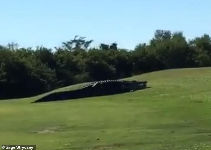 美国佛罗里达州高尔夫球场4.5米长野生巨鳄在场内散步