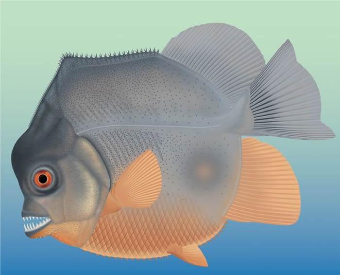 """德国南部石灰岩沉积物中发现1.5亿前的""""食人鱼""""Piranhamesodon pinnatomus"""