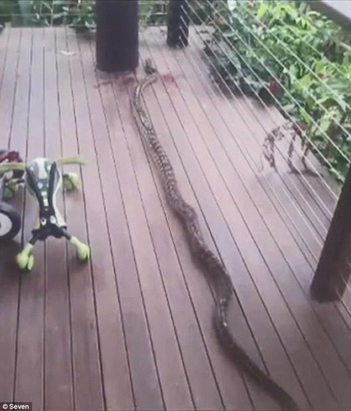 澳洲昆士兰22个月大男童在家中被蟒蛇缠住差点被吞下肚 外公及时赶来将蛇头砍下