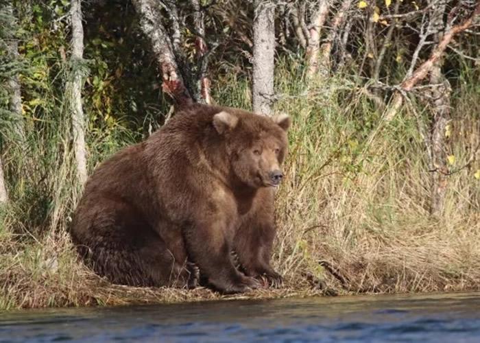 """美国阿拉斯加州卡特迈国家公园举行""""肥熊大赛"""":""""珠鼻""""(Beadnose)夺冠"""