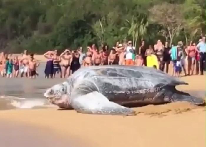美国迈阿密海滩惊现巨型棱皮龟