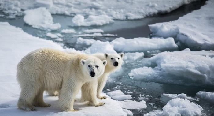 俄罗斯楚科奇自治区弗兰格尔岛的北极熊越来越胖越来越温顺