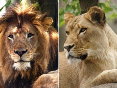 美国印第安纳波利斯动物园一只母狮突然将一只雄狮咬死