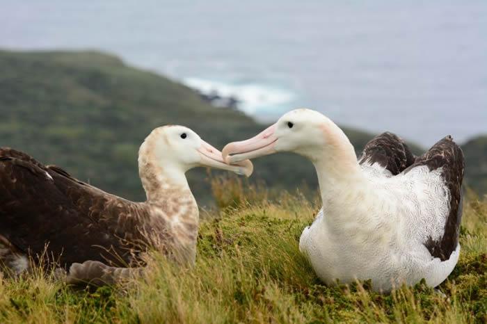 英国皇家鸟类保护协会(RSPB)誓言到2020年捣毁南大西洋戈夫岛上的所有老鼠