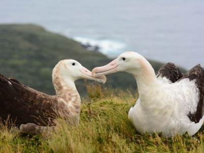 英国皇家鸟类保护协会(RSPB)誓言到2020年捣毁南大西洋戈夫岛上