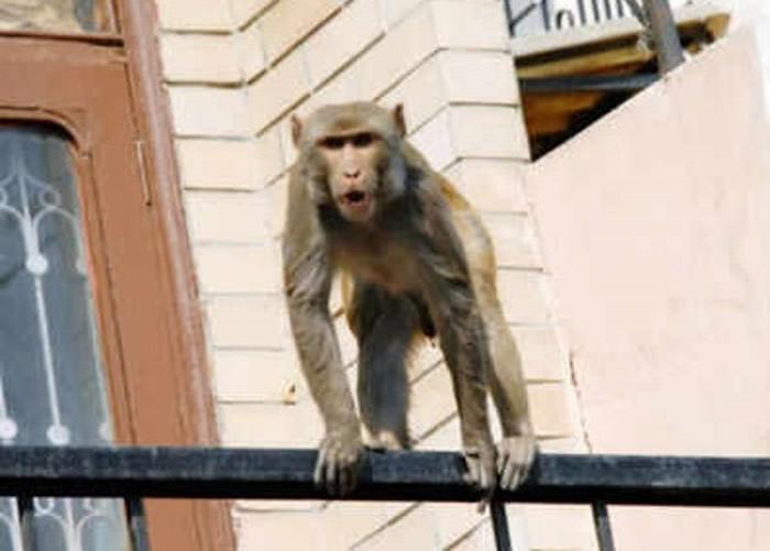 印度北方邦7旬老翁遭泼猴扔砖头砸死。图为当地的猴子。