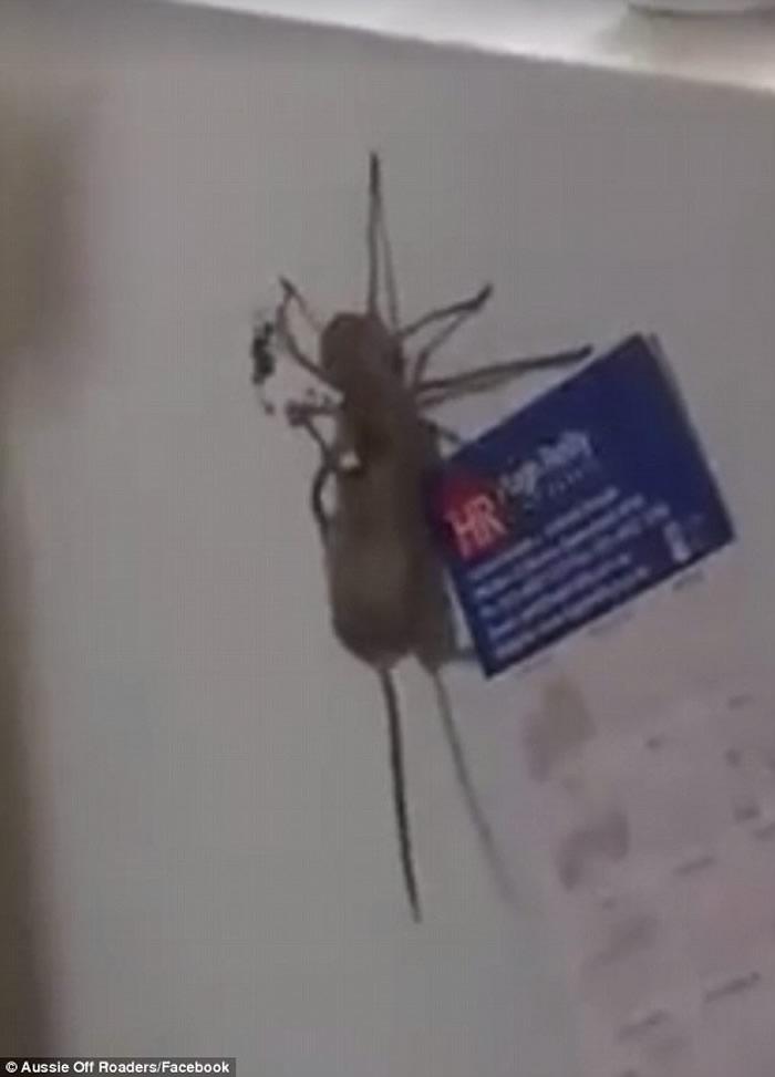 """澳洲昆士兰州巨蟹蛛科蜘蛛带着死老鼠""""飞檐走壁"""""""