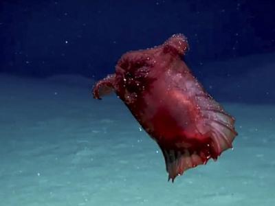 """澳洲研究人员在南极洲海中拍到奇特""""无头鸡海怪""""——浮游海参"""