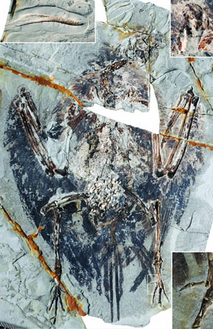 保存了肺部结构的早白垩世鸟类始吻古喙鸟 (王敏供图)