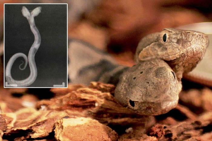 美国肯塔基州莱斯利县出生一条双头铜头蝮