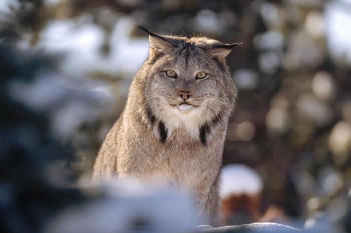 看起来很凶猛吧?不过体型只有它们一半大小的鱼貂可不这么认为。新的研究显示,这种黄鼠狼对于咬死加拿大大山猫当晚餐丝毫不畏惧──在缅因州,它们是真的把这种大猫当猎物