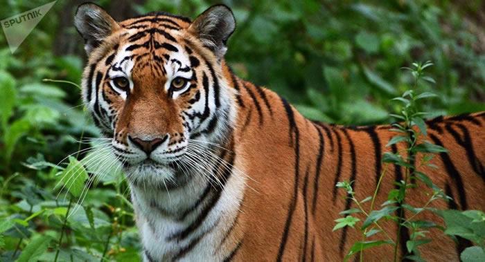 中美俄三国学者确定全球还剩6种老虎亚种