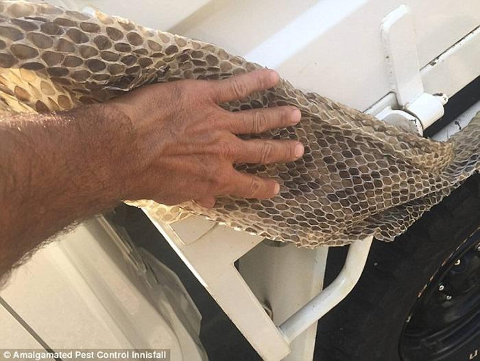 澳大利亚昆士兰一间房屋阁楼上发现6公尺长巨大蟒蛇蛇皮