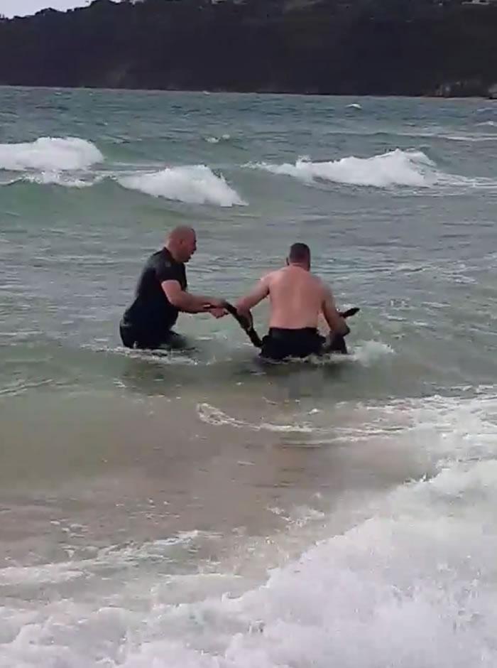 澳洲墨尔本莫宁顿半岛警察勇救落海袋鼠