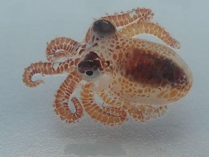 科学家在漂浮在夏威夷岛附近水域的垃圾桶里发现两只豌豆大小的蓝环章鱼宝宝