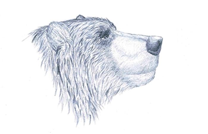 江左其杲手绘的洞熊头部复原图