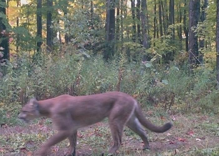 美国密歇根州意外拍到濒危美洲狮踪影