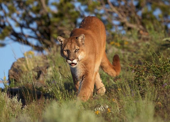 美洲狮自上世纪开始被人类猎杀。