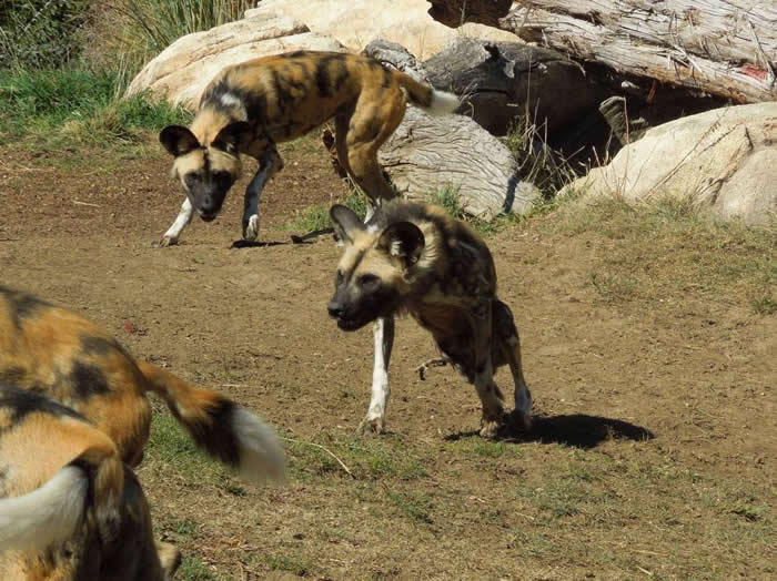 一群非洲野犬常会帮助失去腿的同伴。