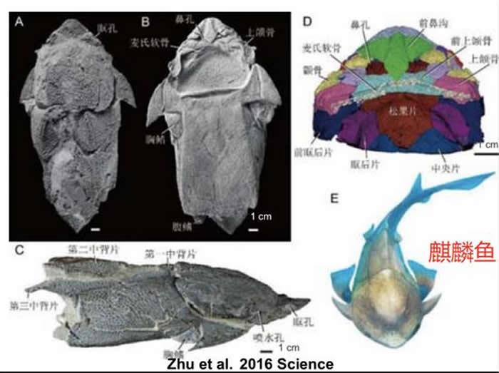 朱敏等人发现了一种来自中国云南省曲靖市的盾皮鱼(麒麟鱼),它扫除了在脊椎动物颌演化认识上的盲区。