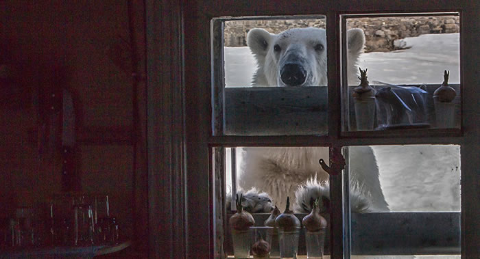 北极熊聚集在楚科奇半岛雷尔开皮镇附近是因为气候变化引起