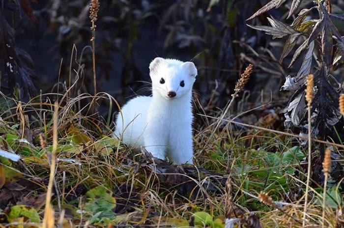 俄罗斯堪察加克罗诺基自然保护区拍到白鼬如何改变毛色