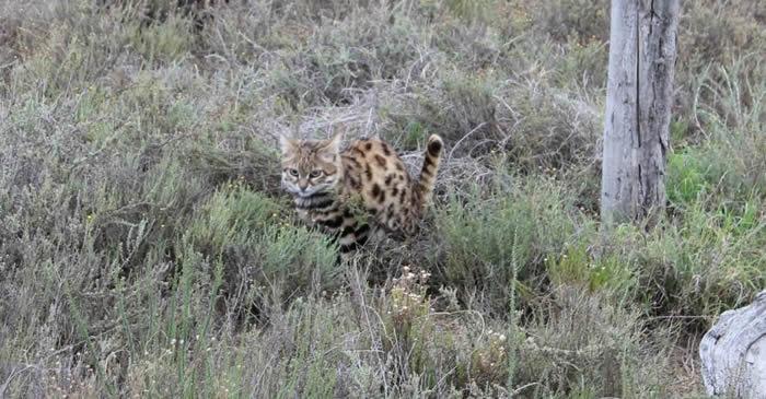 地球上最致命的猫科动物不是狮子 而是生活在非洲的黑足猫