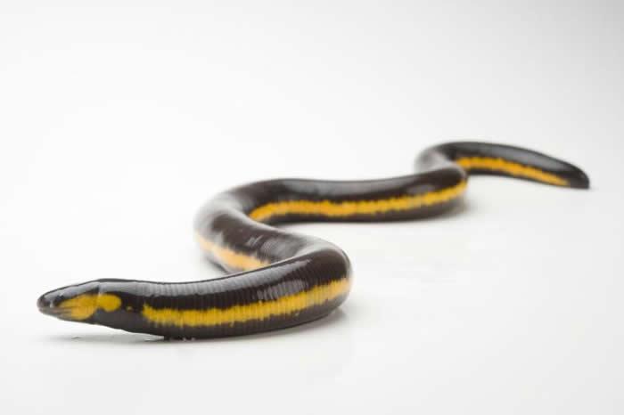 蚓螈妈妈会长出一层特殊的皮肤,是宝宝的第一餐。蚓螈是一种无足两生类,这只贝氏鱼螈(Ichthyophis beddomei)在圣安东尼奥动物园。 PHOTOGR