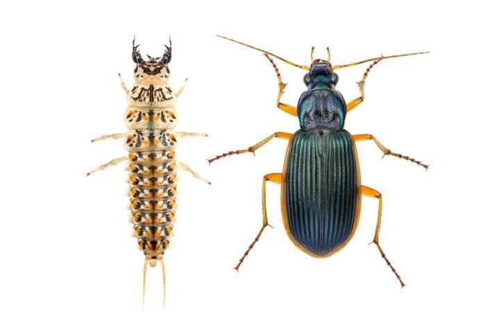 这种步行虫(Epomis circumscriptus)的幼虫(左)和成虫(右),会吸食青蛙的血液跟组织。 PHOTOGRAPH BY GIL WIZEN, N