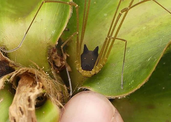 """厄瓜多尔的热带森林发现""""狼头昆虫""""——盲蛛"""