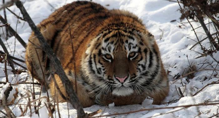 """俄罗斯放归野外的阿穆尔虎""""赛汗""""越境中国并吃了一只羊"""