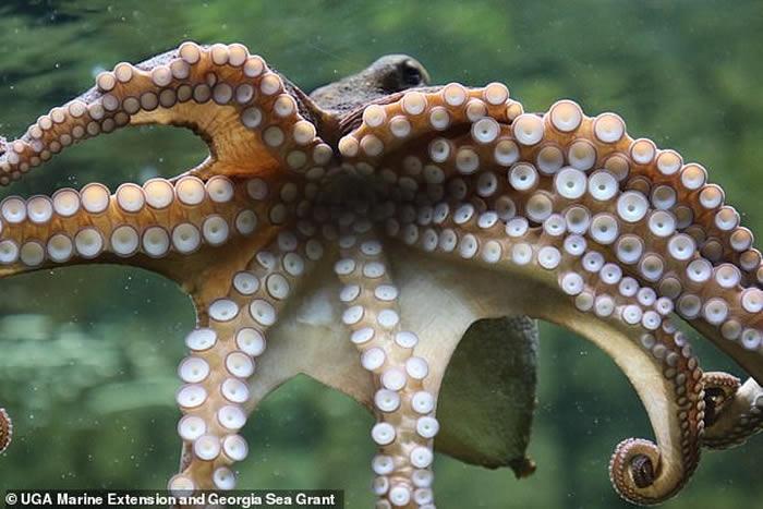 """美国佐治亚州海洋中心一只""""雄性""""章鱼产下上万只幼崽"""