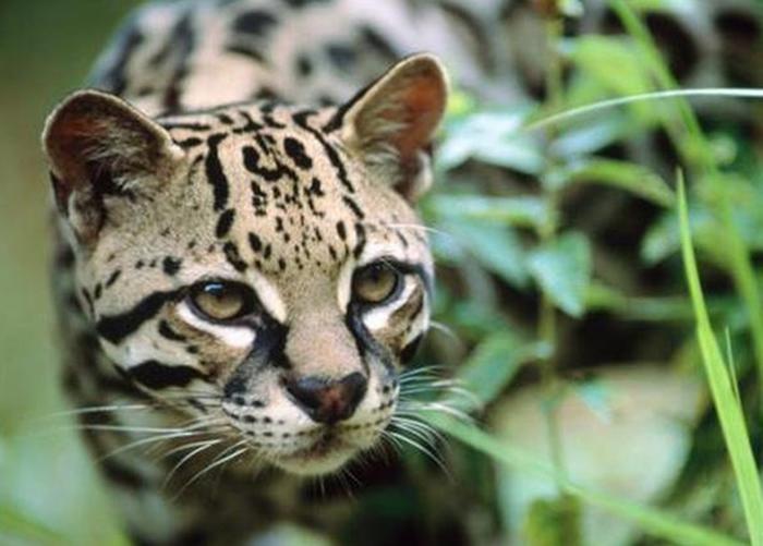 十几年来,江苏沿海首次出现濒危野生豹猫。