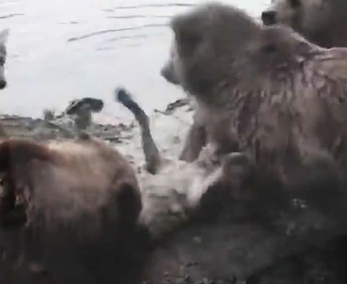 荷兰米尔洛镇动物园4只棕熊突然发难活生生肢解雌狼