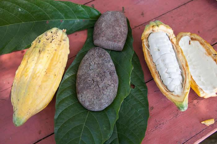 证据显示古代亚马逊盆地的人类已经懂得如何加工及享用可可豆,而且时间比我们原先认为的早了1700年。 PHOTOGRAPH BY GABBY SALAZAR, N