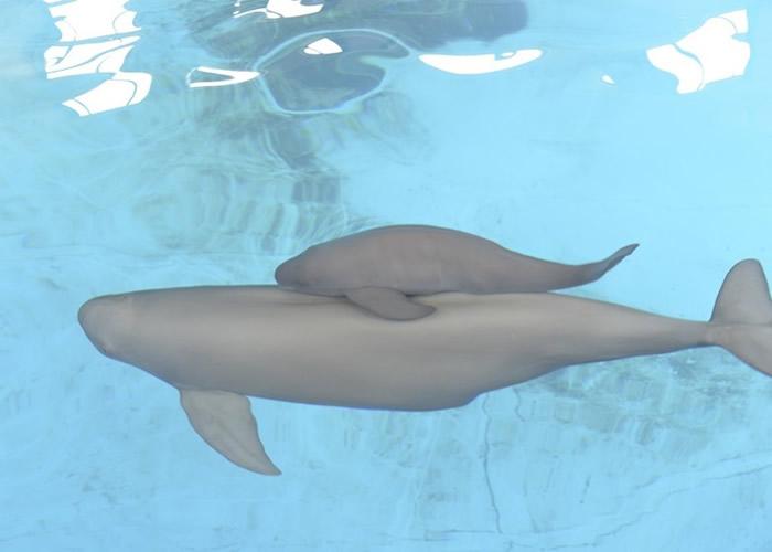 江豚属极危物种。