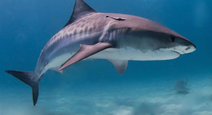 《悉尼先驱晨报》:澳大利亚海岸一男子遭四米长虎鲨袭击