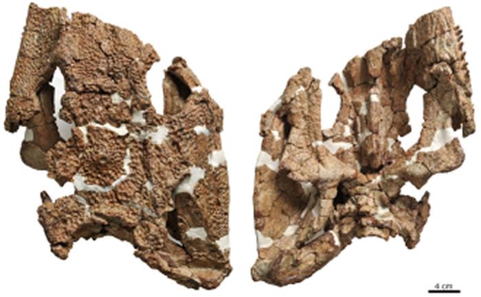 石油似卡玛螈头骨及复原图(刘俊 供图)