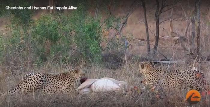 南非克鲁格国家公园猎豹活吞羚羊 之后被鬣狗抢走猎物