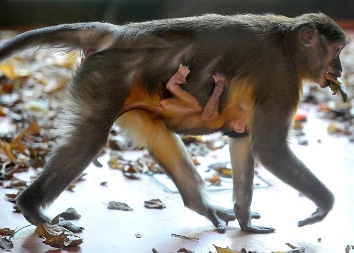 金肚白眉猴极为罕有。