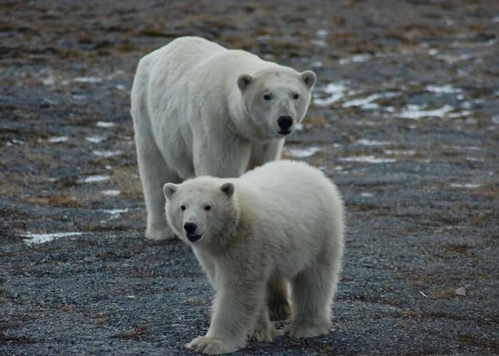 气候变化正威胁北极熊的生存空间。
