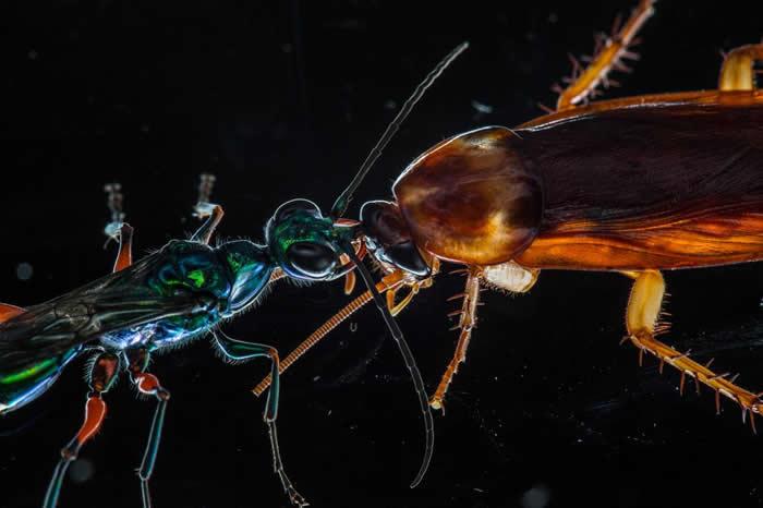 近来有一项研究显示,蟑螂会运用踢腿和其他抵御动作抵抗天敌扁头泥蜂。 (emerald cockroach wasp)。 PHOTOGRAPH BY ANAND