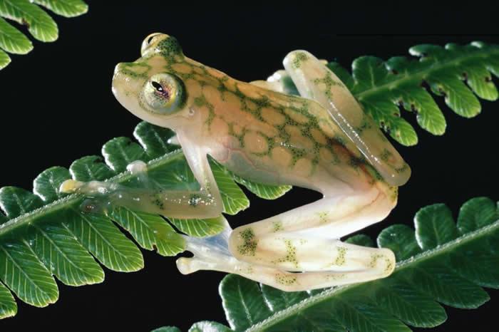 哥斯大黎加蒙泰维尔德云森林保护区(Monteverde Cloud Forest Reserve)里的一片蕨叶上,停着一只看似细致娇弱的网纹玻璃蛙(reticu