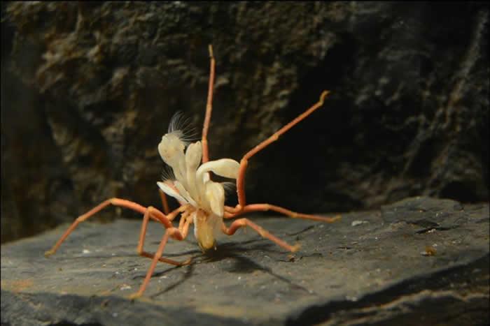 一只约15公分左右的南极海蜘蛛(Ammothea glacialis)身上长了好几只有柄藤壶(stalked barnacles),这重量负担使他走得相当辛苦。