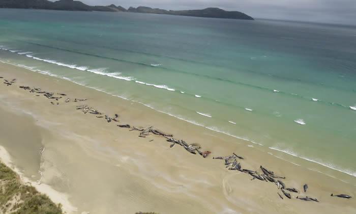 近日本邪恶漫画大全无翼鸟经典150头巨头鲸在新西兰斯图尔特岛岸边搁浅